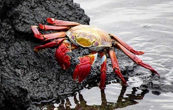 voyage aux Galápagos crabe