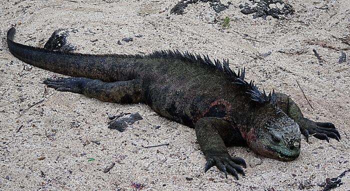 voyage aux Galápagos iguane marin plage