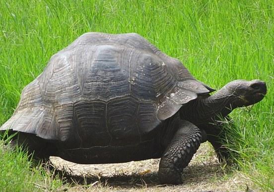voyage aux Galápagos tortue géante el chato