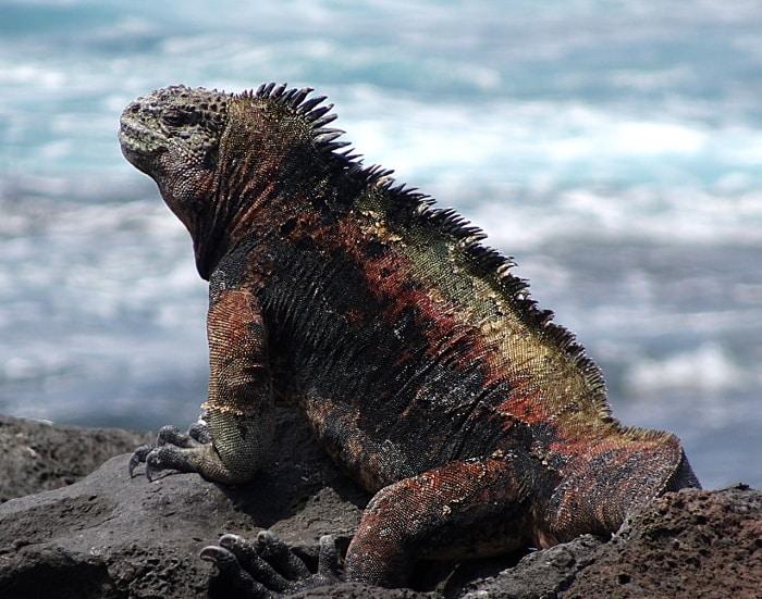 voyage aux galapagos iguane marin