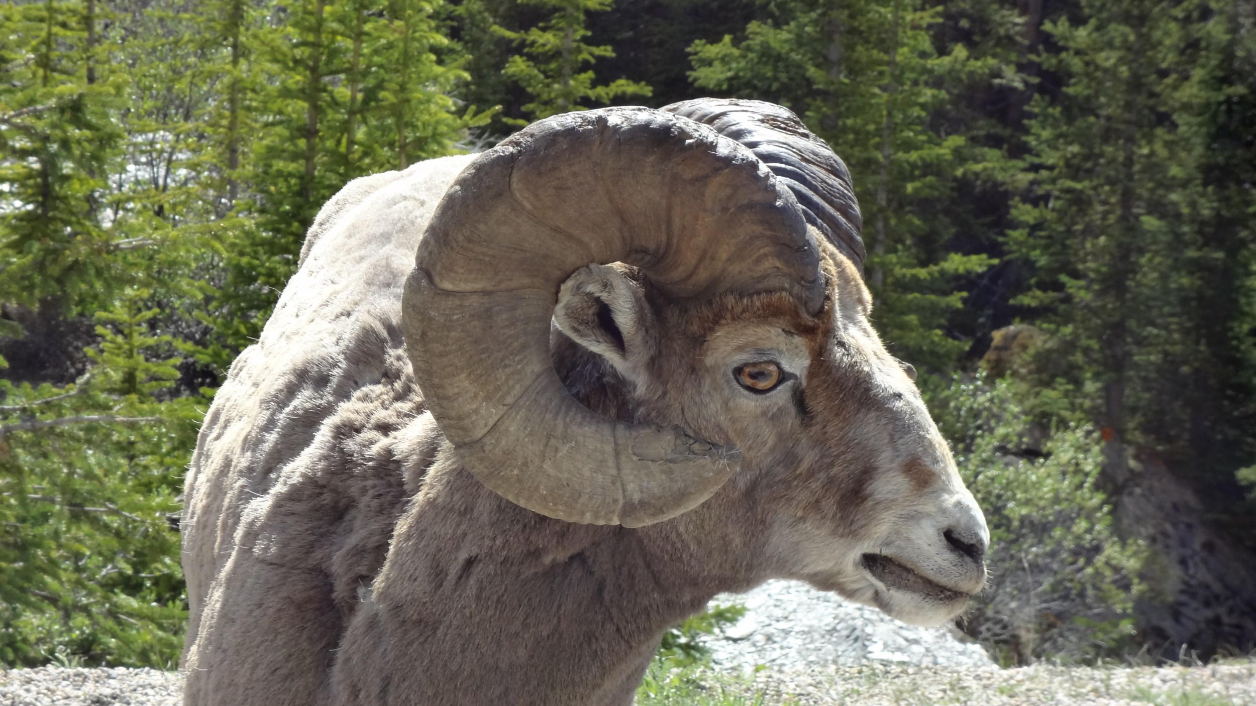 Big Horn Sheep Crossing