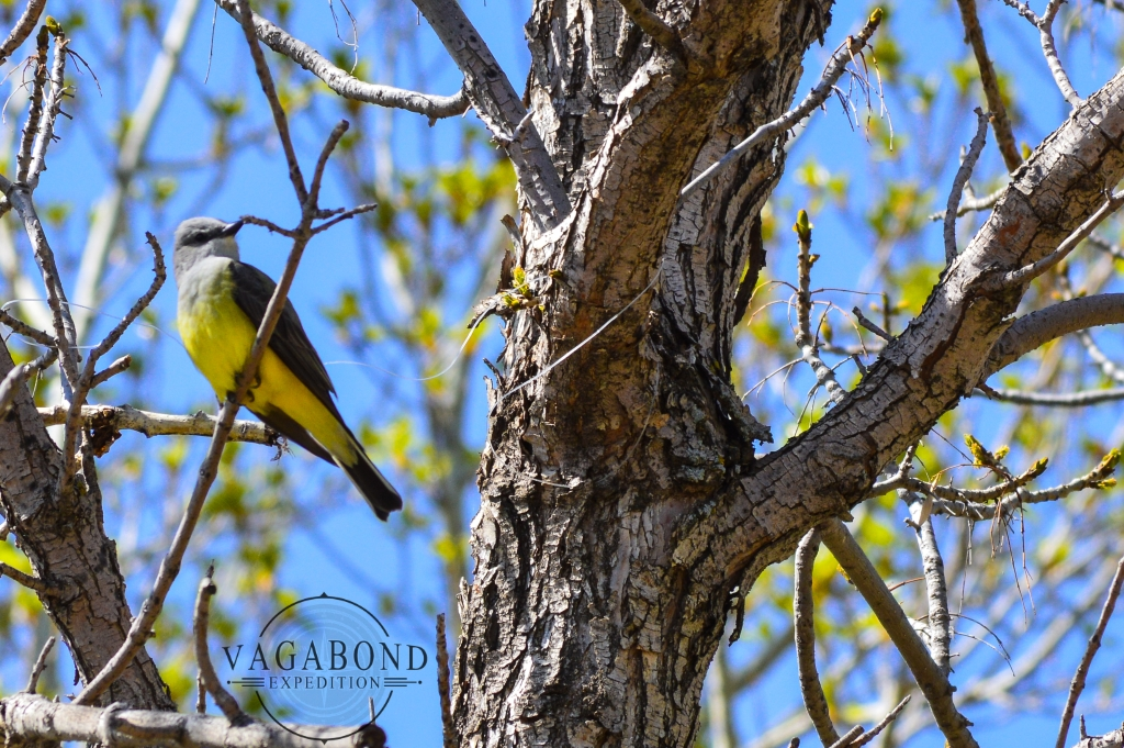 The Western Kingbird