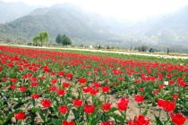 Tulip Gardens is nestled between hills