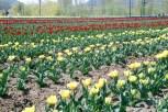 Tulip11