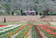 Nou just tulips, Kashmir has beautiful colours for every part of its nature
