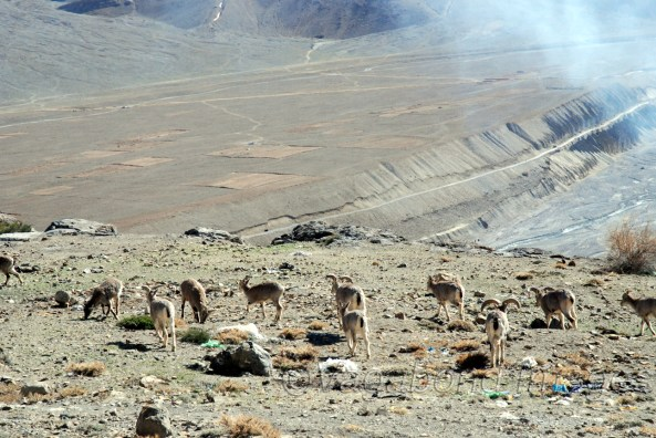 Most prominent of wildlife in Spiti valley