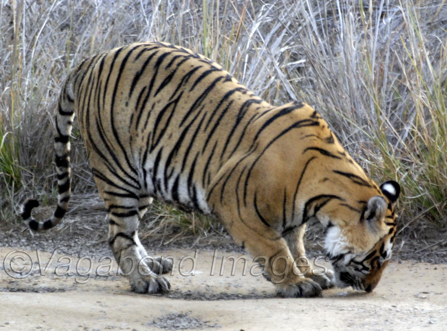 Star Tiger1