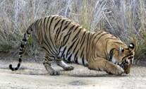 Star Tiger2