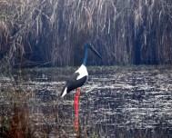 Black-necked stork in Dudhwa