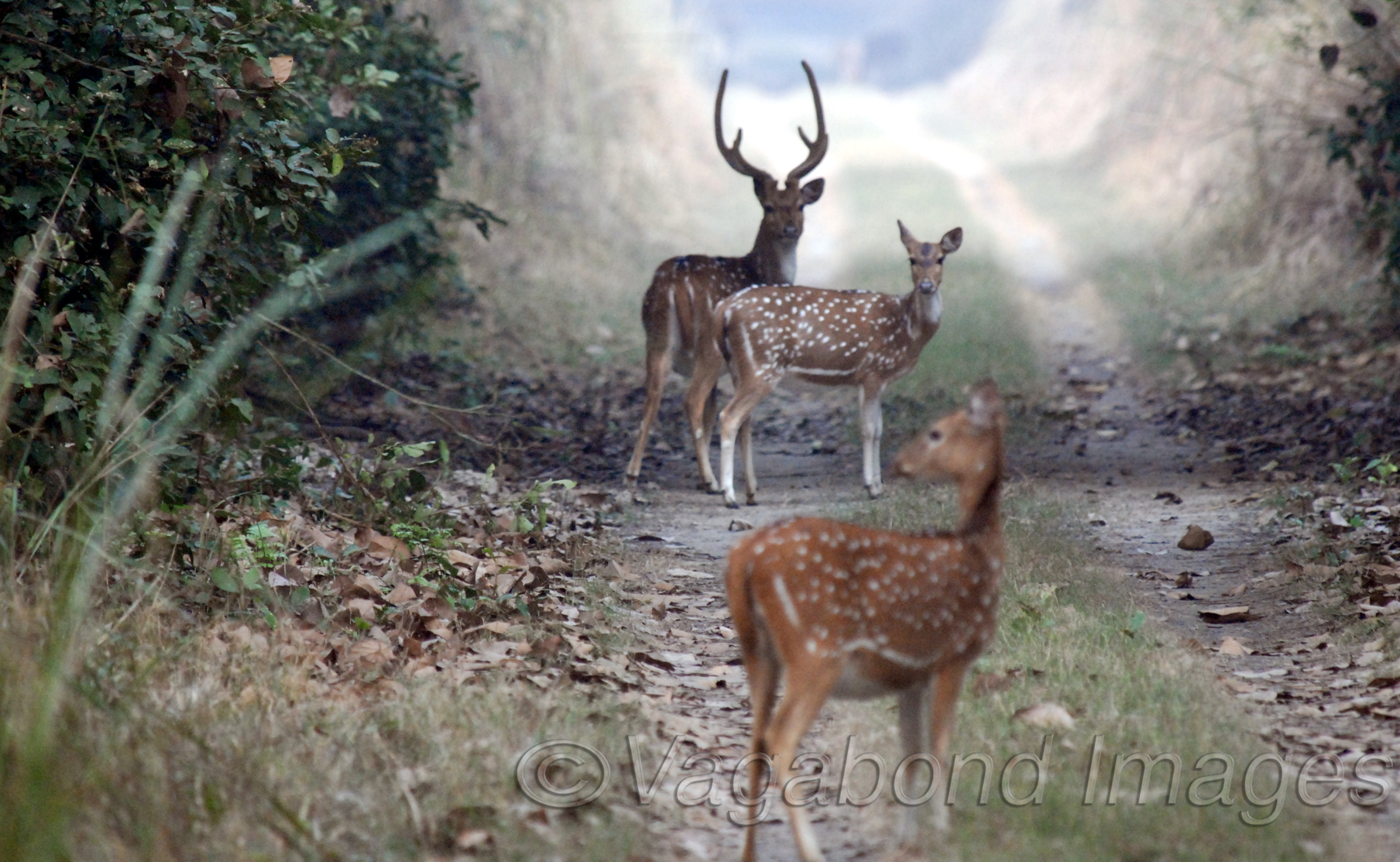 spotted deers are most easy to spot and click in Indian forests