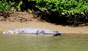 Bhitarkanika is known for its crocodiles