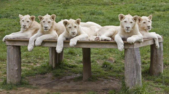 A litter of five male white lion cubs, thought to be the first in the world to be bred in a zoo, relaxes at Mogo Zoo south of Sydney. Photo: AFP