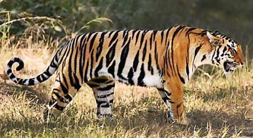 tiger-roger-hooper-wwf