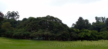 The Giant Java Willow Tree: Now this is a one huge and very old tree spread in a big area