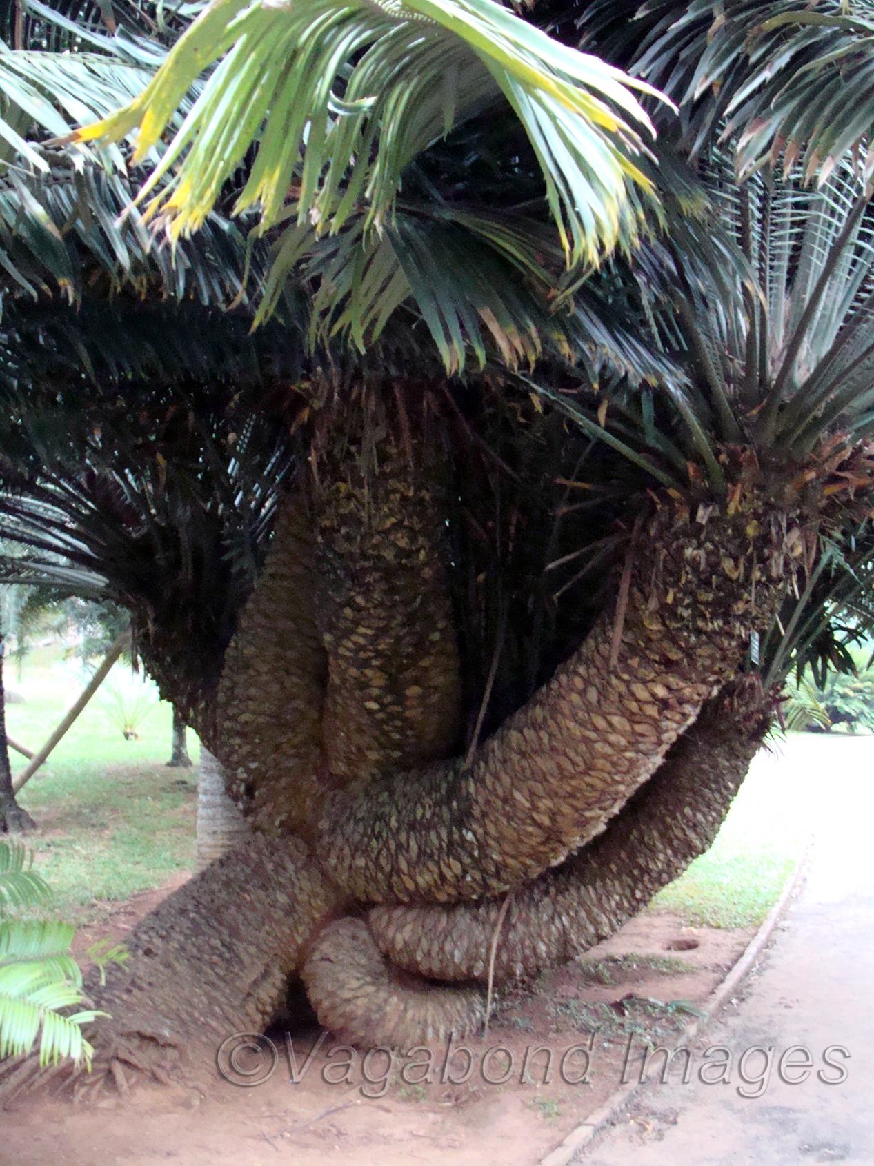 Encephalartos Laurentianus???