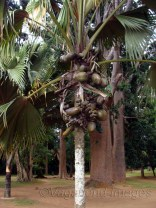 Double coconut tree!
