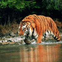Siberian Tigers make a comeback in China