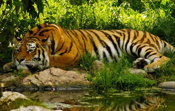 a tiger at Sunderbans in Bangladesh