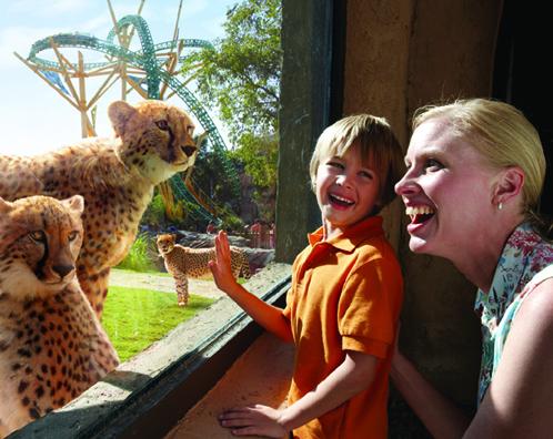 Cheetah Hunt. Photo: Busch Gardens