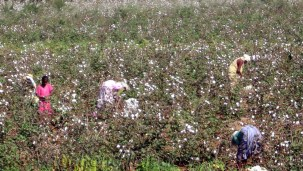 In the cotton fields of Kerala!