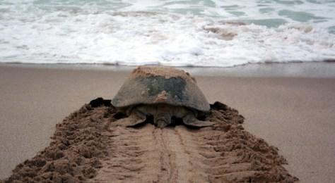 Oman Turtle
