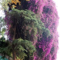 A Bougainvillea love story in Almora