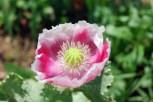 Kausani-Flowers13