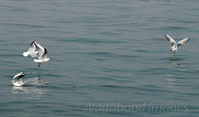 Seagull6