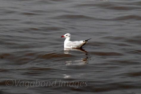 Seagull3