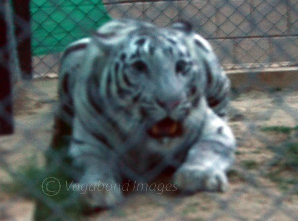 White tigress Radha in a fearsome mood in her cage at Mukundpur zoo.
