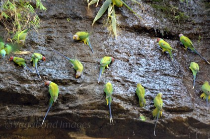 Parakeets sticking to moist, wet rock face on one side of the gorge