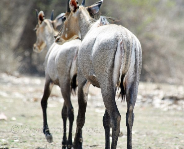 Nilgai at Panna