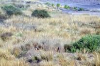Panna Tiger18