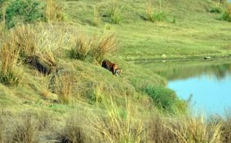 Panna Tiger24
