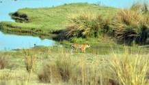 Panna Tiger28