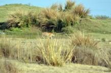 Panna Tiger29