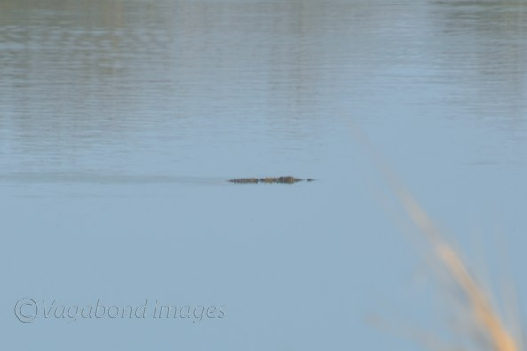 Crocodile at Panna