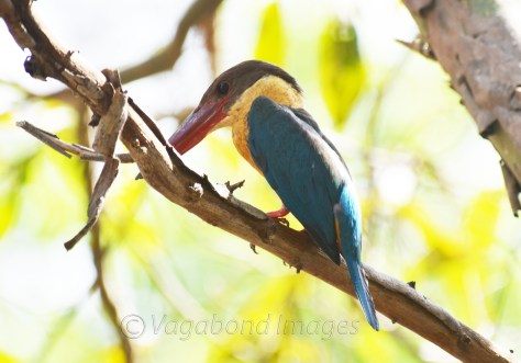 Stork Billed Kingfisher at Panna