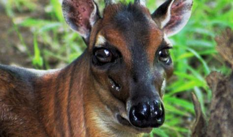 Bay Duiker is Near Threatened. Photo: Brent Huffman