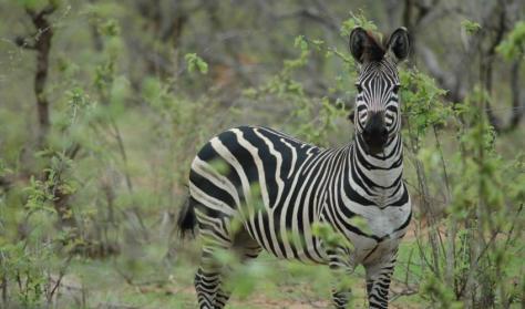 Plains Zebra is Near Threatened. Photo: Jean-Christophe Vié