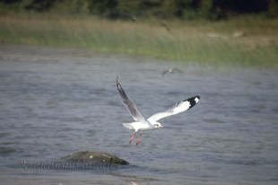 A sea gull taking a flight