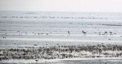 A colony of flamingos at Chilika