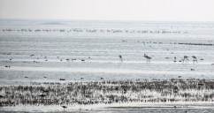 A colony of flamingos at Chilika