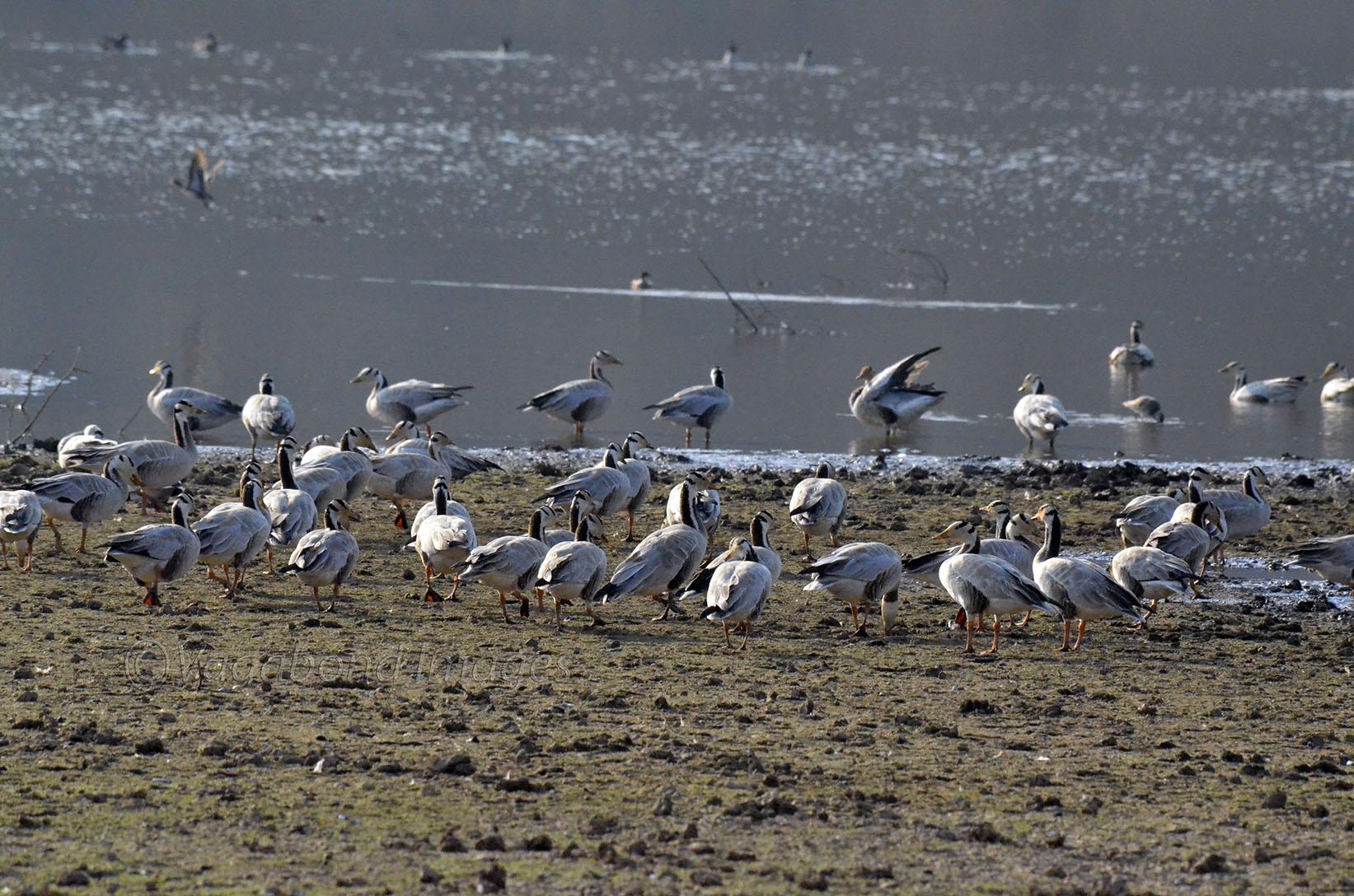 Closer to Bar headed goose