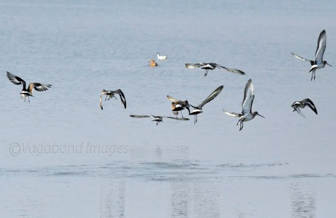 Black-tailed godwits in flight at Sambhar lake