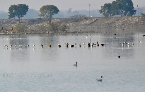 other migratory birds at Sambhar