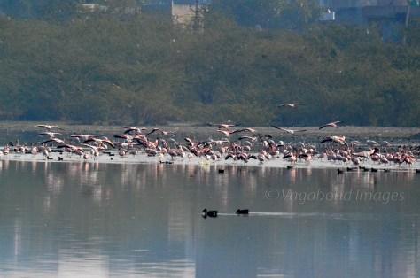 Sambhar Flamingos17