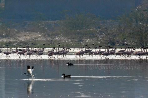 Sambhar Flamingos20