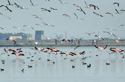 Sambhar Flamingos25