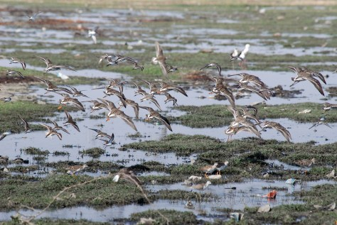 a flock of marsh sandpipers flying over the Sambhar lake
